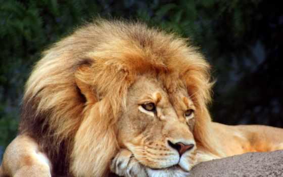 lion, львы, заставки, уставший,