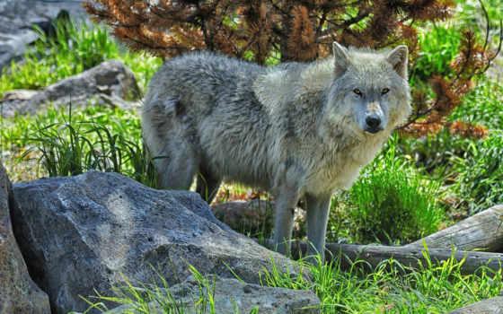 волк, лес, взгляд
