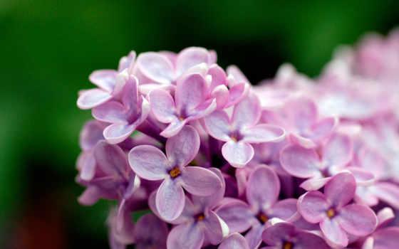 цветы, сирени, макро, скопление, зелёный,
