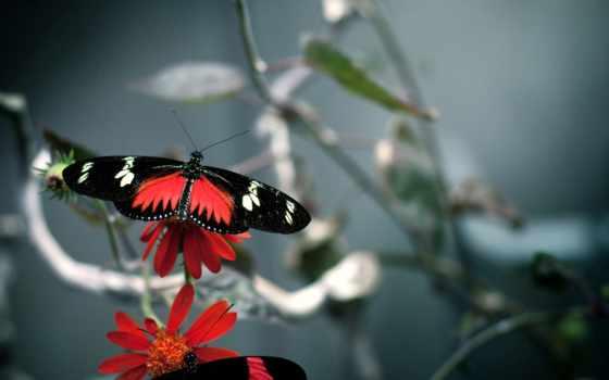 бабочка, black, red