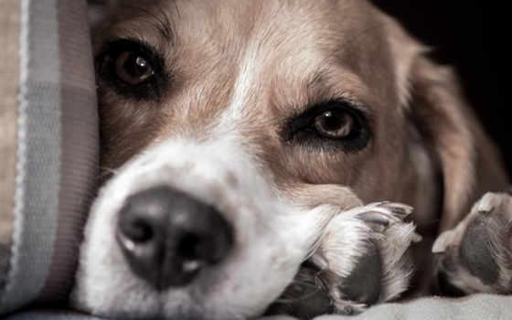 beagle, собака, породы