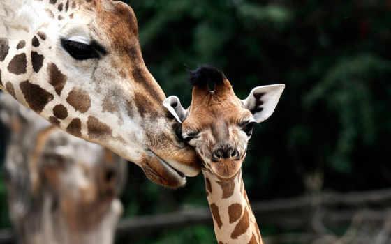 жирафы, жираф, жирафёнок, collections, яndex, коллекциях, коллекция,