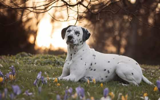 dalmatian, dogs, собака