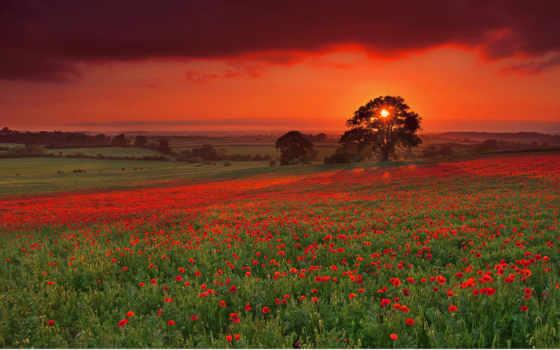 поле, закат, маки, вечер, солнце, яркий, деревья, маковое, закате, дерево, одним, файлом,