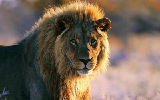грива, lion, смотрит