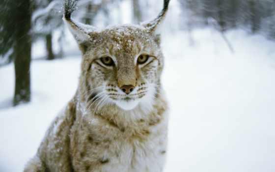 winter, кот, рысь