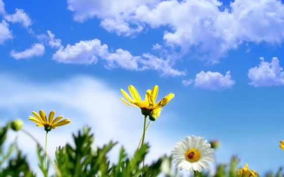 весна, цветы, цветов, ромашки,