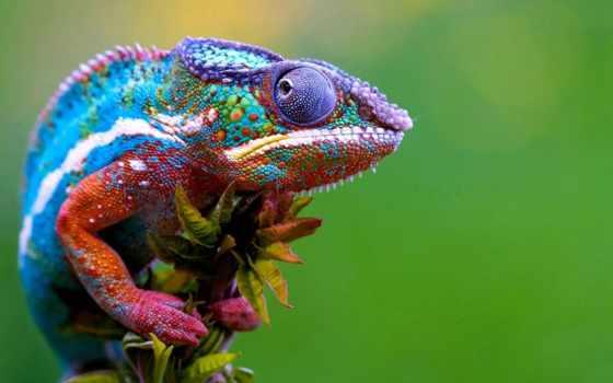 chameleon, ранго, об, world, купить, animals, chameleons, хамелеона,