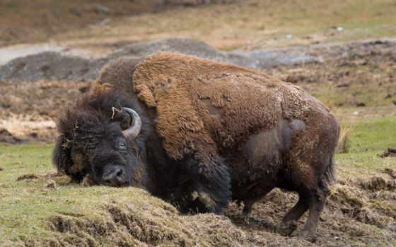 бизон, bull, тепло, top, national, пещера, park, ветер,