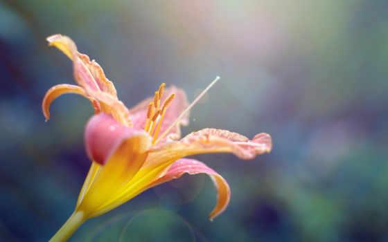 цветы, планшетный, petals, лепестки,