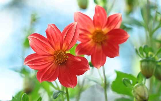 cvety, dalia, dodana, kwiaty, фон, permission, tickseed, цветы
