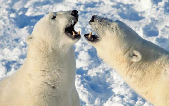 медведи, white, медведь, белые, злые,