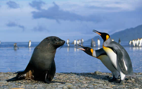 пингвины, пингвинов, котики, морские, тюлень, море, морских, котиков, антарктиды, только, нояб,
