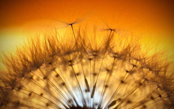 одуванчик, макро, fone, свет, неба, солнца,
