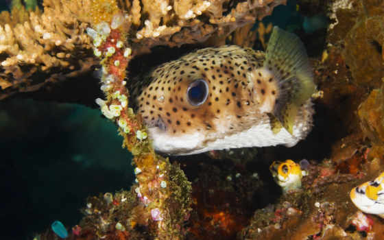 fish, images, fishes, море, pufferfish, pictures,