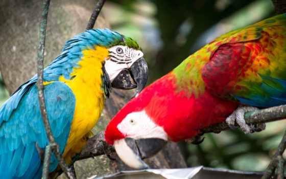 macaw, птица, попугай