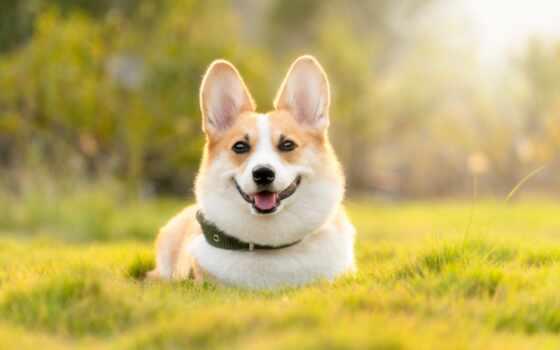 собака, порода, animal, который, famous, кот, россия, funny, prank, corgi, идеальный