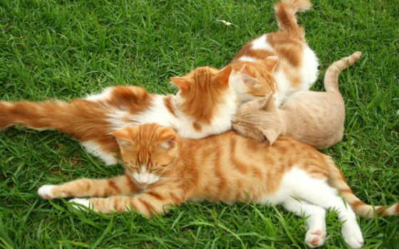 кошки, рыжие, red
