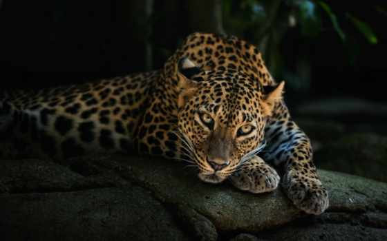 леопард, взгляд, морда