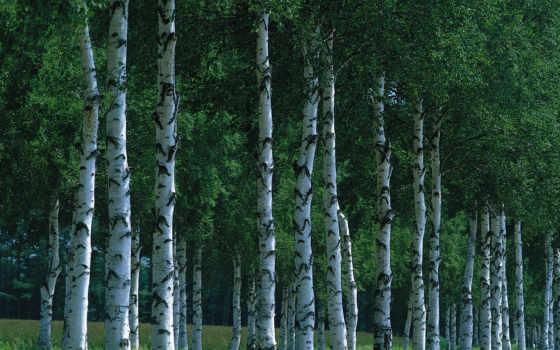 березы, природа, grove