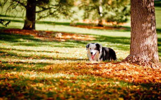 осень, собака, dogs