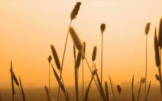 trigo, atardecer, campo, аль, plantas, fondos, todofondos, небо, трава, imágenes,