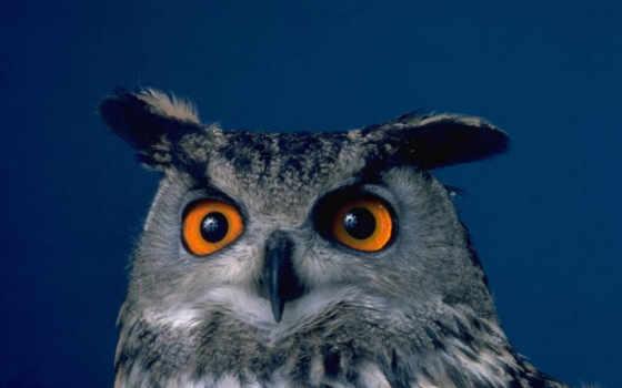 птиц, сова, птицы, социальных, этом, может, гнезда, ушастая, переиспользуем,