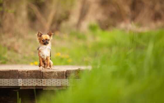 собака, мост