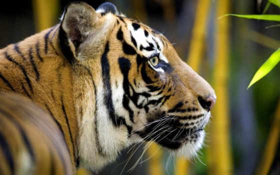 тигр, профиль