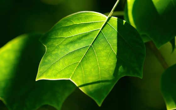 лист, зелень