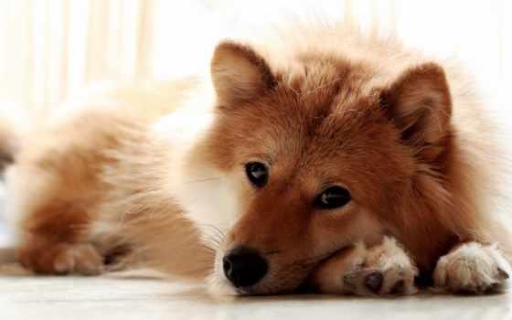 собака, лежит, взгляд, морда, лапы, собаки, щенок, zhivotnye, картинка, овчарка,