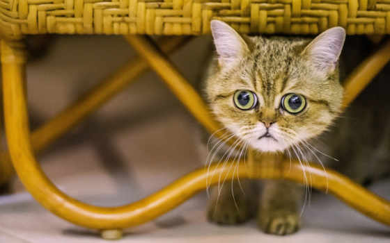кот, exotic, морда,