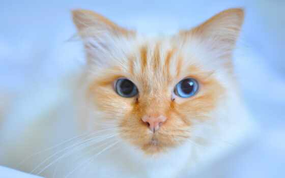 kot, глаз, кот, narrow, rudy, zbli-enie, хороший, blue, shirokoformatnyi