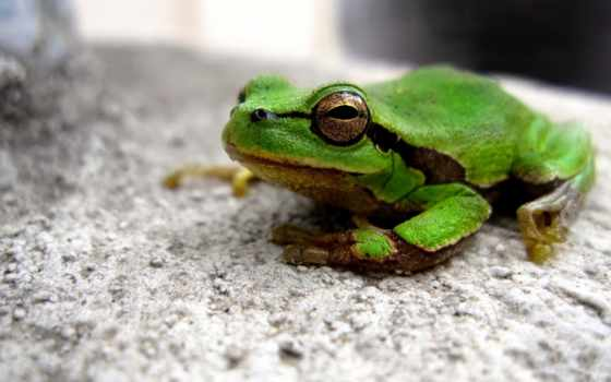 лягушка, камень, зеленая