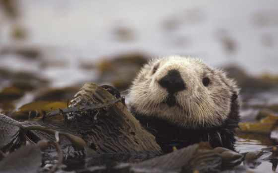 otter, выдры, морская
