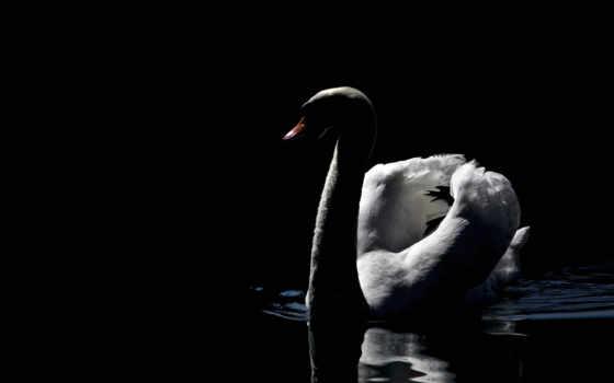 лебедь, white, птица, birds, black, images,