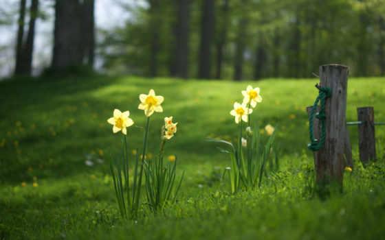 поляна, трава, нарциссы, лес, summer, весна, красивые, лесу, весенние, поляне, под,