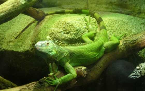 iguana, зелёный,