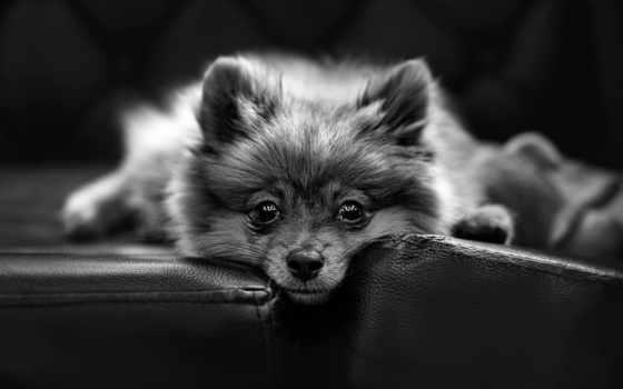 pomeranian, cute, собака, animals, взгляд, dogs, puppies,