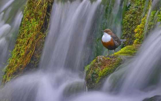 birds, водопад, dipper, you, bing, категория, waterfalls,