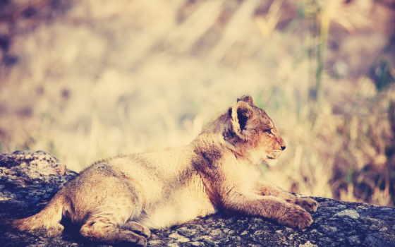 lion, дневной, во, можно,