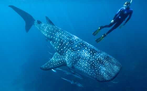 акула, кит, большой, fish, world, age, typus, rhincodon