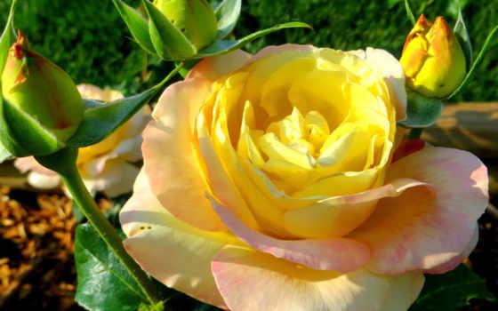 розы, цветы, желтая