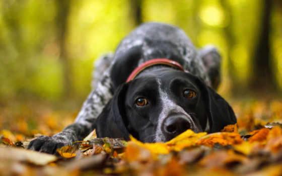 осень, собака, друг