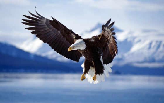 aigle, ecran, fonds, fond, орлан, vol, eagles, nos,