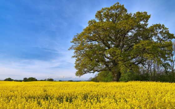 margin, поле, бесплатные, красивые, чистое, fone, дерева, чайные, цветочные, широкоформатные, цветущего,
