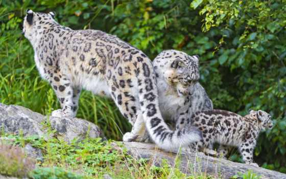 снег, леопард, ирбис, природе, uncia, дикой,