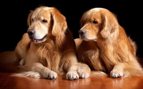 retriever, золотистый, dogs, собака, puppies, musmatta,