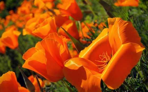 эшшольция, cvety, калифорнийская, california, poppy,