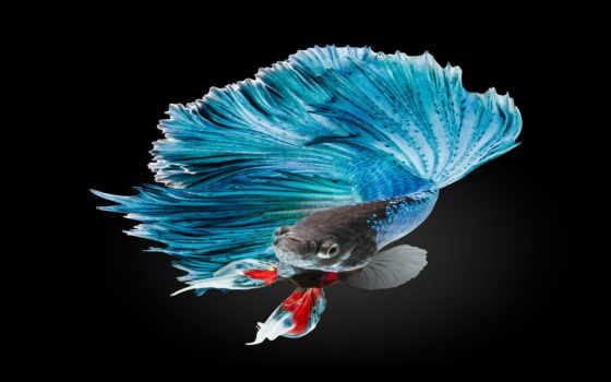 fish, betta, world, фотографий, редкие, природы,